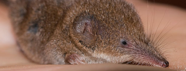 SHREWS MAY EXPLAIN ZOMBIE HUNTING