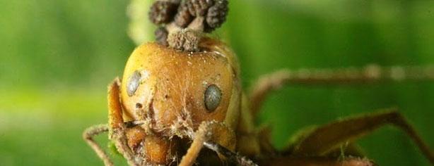 FUNGI CREATE ZOMBIE ANTS!