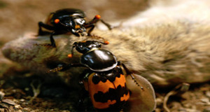 CORPSE-EATING BEETLES RELEASED INTO THE WILD