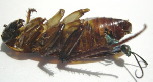 SCIENTISTS UNLOCK SECRETS OF ZOMBIE COCKROACHES